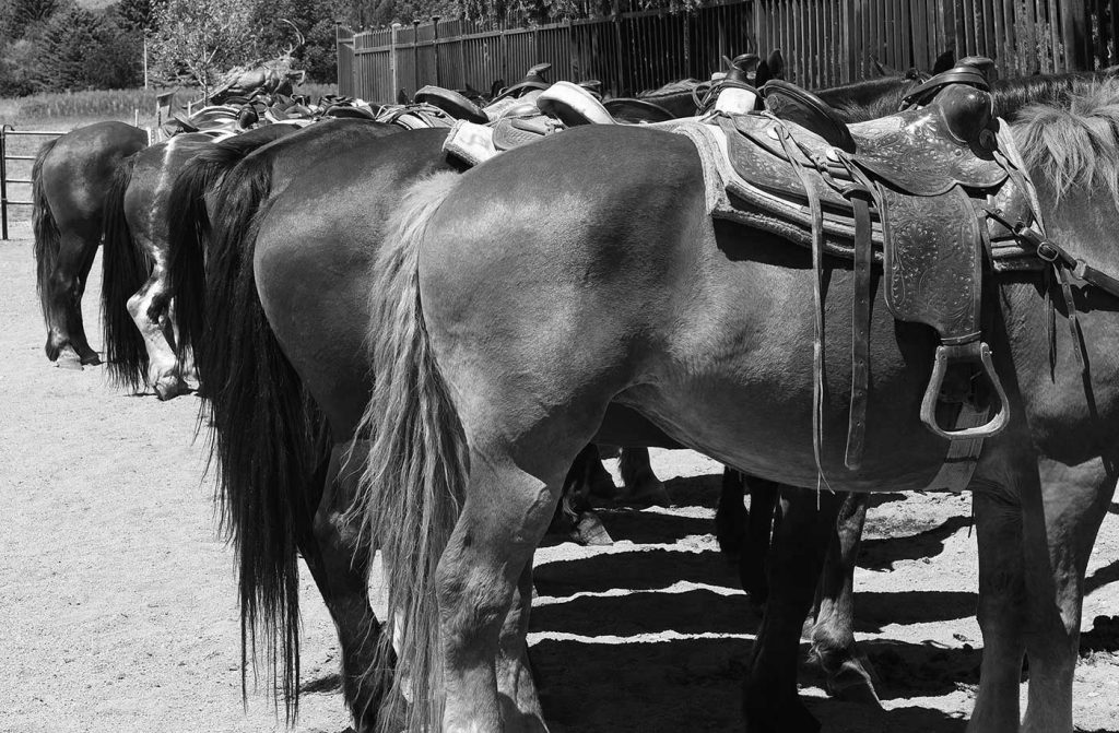 Black And White Saddled Horses At The Buffalo Bill Center Of The West